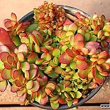 라디칸스 10|Crassula pubescens Radicans