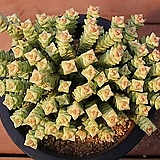 희성금 521|Crassula Rupestris variegata
