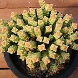 희성금 504|Crassula Rupestris variegata