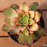 까라솔 507|Aeonium decorum f variegata