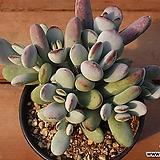 방울복랑 47|Cotyledon orbiculata cv