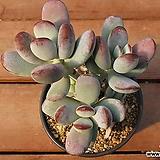 방울복랑 32|Cotyledon orbiculata cv