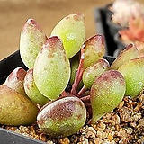 인디언곤봉 204-8284|Adromischus cristatus indian clubs