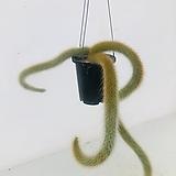 원숭이꼬리 선인장 (동일품배송)|