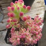 을려심철화100|sedum pachyphyllum