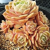 온슬로우 묵은 자연|Echeveria cv Onslow