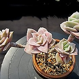 러블리로즈 4-310|Echeveria Lovely Rose