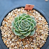 실버스타8|Graptoveria silverstar