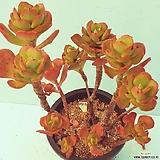 400홍매화합식|Echeveria Multicalulis  Ginmei Tennyo