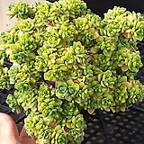 묵어잎짧은 린들레이금  목대도좋아요|Aeonium Lindleyi