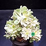애연금|Aeonium domesticum fa Variegata