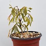 하와이자귀나무|