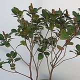 후피향나무|