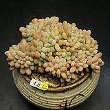 묵은 동미인철화(4.8)|Pachyveria pachyphytoides Walth