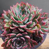 황홀한연꽃자연군생(금무지)  408-2044|Echeveria pulidonis