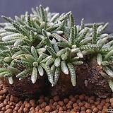 알스토니|Avonia quinaria ssp Alstonii
