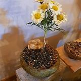목마가렛3호 묵둥이 수제분완성분(작고 단단한 목대가 아름다워요)|Echeveria halbingeri