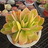 골든글로우금4-702|Echeveria cv. Golden Glow