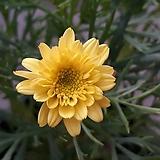 겹마가렛 [노랑 ]|Echeveria halbingeri