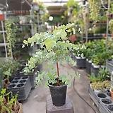 유칼립투스블랙잭 대품 공기정화식물 인기식물 319|