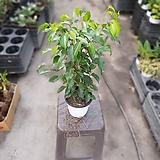 벤자민 중품 공기정화식물 반려식물 인테리어식물 89|