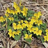 토종 노랑제비꽃|