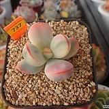 방울복랑금(분채배송)4-737|Cotyledon orbiculata cv variegated