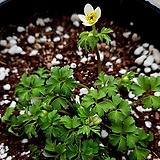 한라산 새바람꽃|