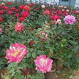 특상품 사계장미 땅장미 큰송이꽃 / 빨강 ,노랑,분홍,보카시 선택가능 |