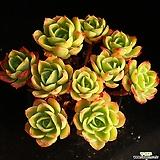 중대품 레몬로즈 컷팅군생 1|Echeveria Lemon Rose
