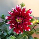 다알리아 빨강보카시|