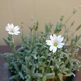 하설초 꽃대가득|