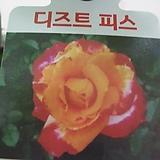 사계장미-디즈트피스-황홍투톤-사계절꽃피는장미|