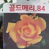 사계장미-골드메리-극황색골드-사계절꽃핍니다.|