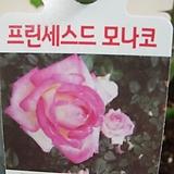 사계장미-프린세스도모나코-화이트핑크투톤-사계절꽃핍니다.|