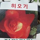 사계장미-히오기-주홍색-사계절꽃핍니다.|