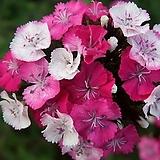 석죽솜방망이-핑크매직 6포트 묘종 8cm포트묘|