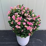 웨딩꽃기린 분홍보카시/ 특대품|