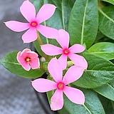 페어리스타/분홍색|