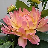 연꽃다알리아보카시#1|