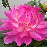 연꽃다알리아 보카시#2|