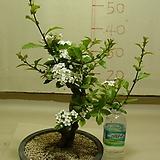 루비산사3번-빨간루비색의 구슬크기열매가 무조건달림-동일품배송|