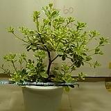 무늬돈나무2번-만리향-화려한무늬가 일품인자생종-동일품배송|