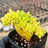 팔천대철화 51-334|Sedum corynephyllum