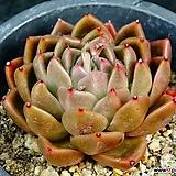타우르스교배종68|Echeveria agavoides var. Ebony Purple