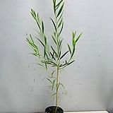 긴잎아카시아 / 동일품배송|
