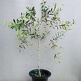 올리브나무 / 동일품배송|