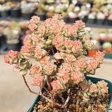 희성금 7-254|Crassula Rupestris variegata