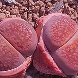 리톱스대형종군생 고급품종 