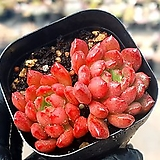 핑클루비 7-323|Sedeveria pink rubby